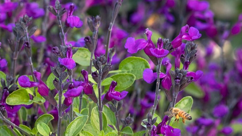 'Ignition Purple' is a petite form of salvia that's new from Monrovia Nurseries.