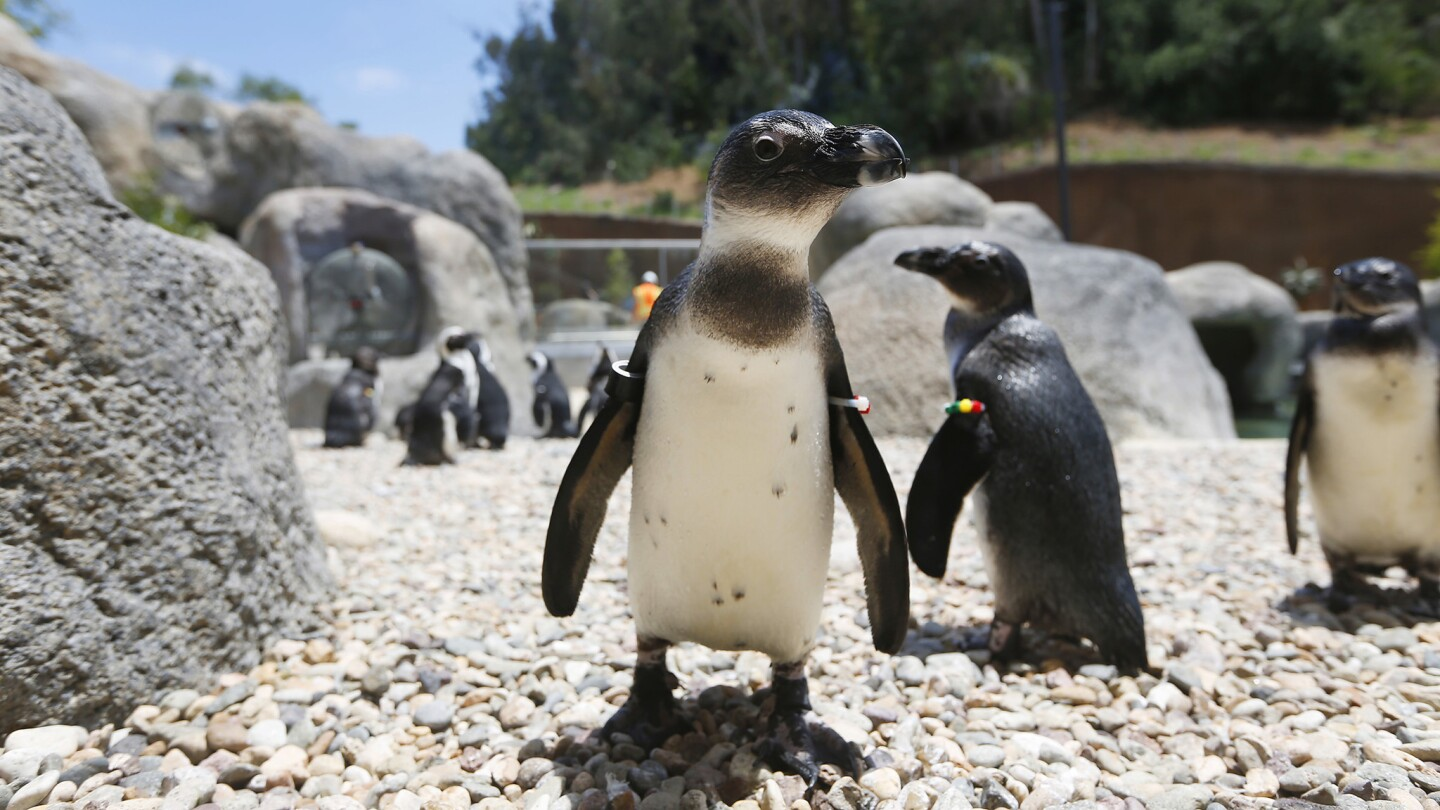 African penguins walk around the new Cape Fynbos habitat in the soon-to-open Conrad Prebys Africa Rocks exhibit at the San Diego Zoo. Africa Rocks opens on July 1st.