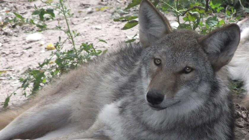Wolf-coyote hybrid