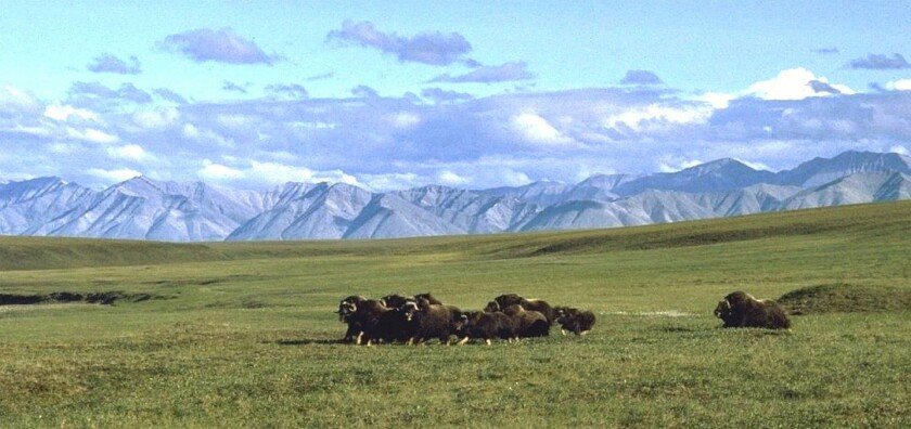 """A small herd of musk oxen in the """"1002"""" area of the refuge's coastal plain."""