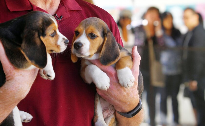 Beagle puppies relax in the hands of a Rancho Coastal Humane Society staff member Monday as people who are interested in adopting a puppy line up behind. Photo by Bill Wechter