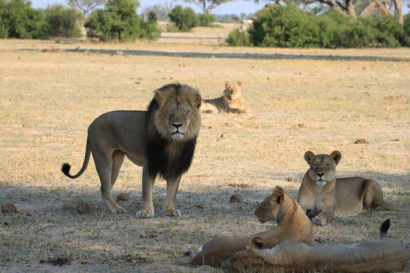 Cecil the lion stands with his pride on the plains in Hwange National Park on Nov. 18, 2012, in Zimbabwe.