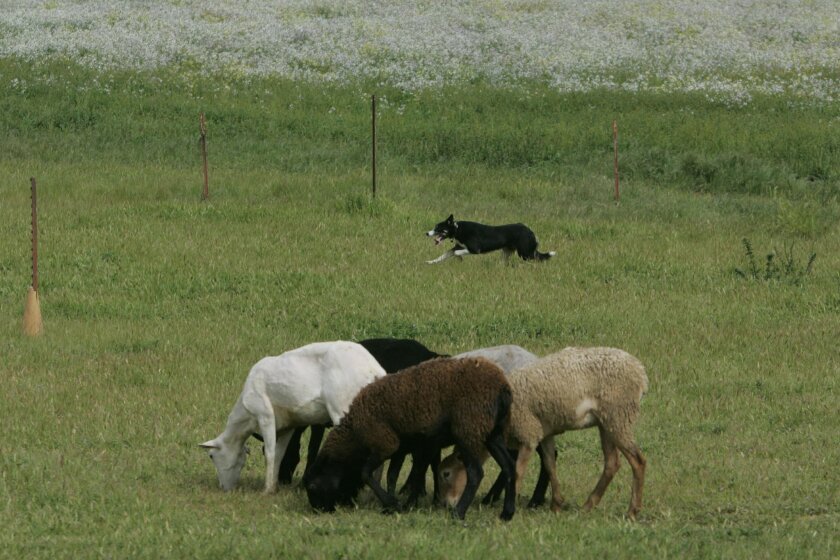 A Border Collie flanking sheep in Escondido.