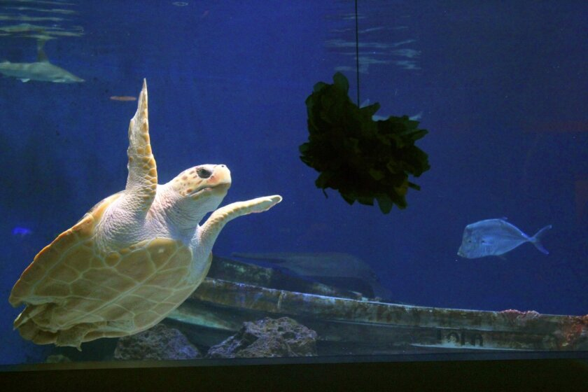 The rescued loggerhead sea turtle at Birch Aquarium has been found to be female.