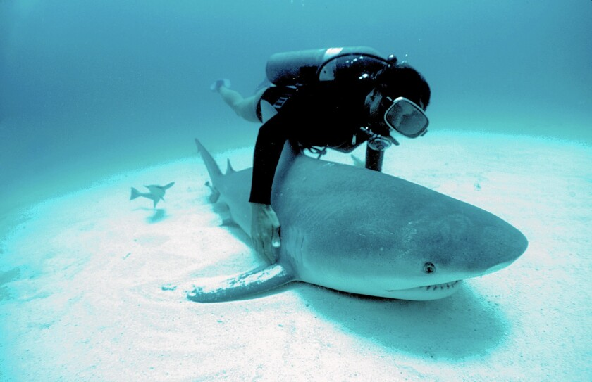 Dr. Eugenie Clark examines a bull shark captured by a fisherman in Isla Mujeres, Mexico, on assignment for National Geographic.