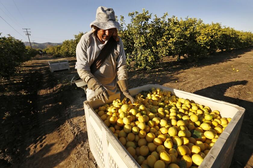 Javier Herrera picks lemons in the orchards of Santa Paula.