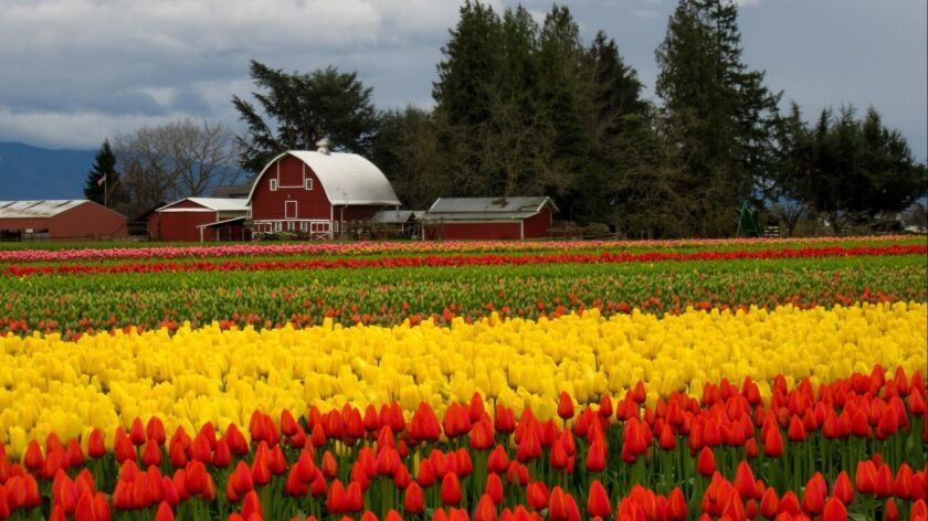 SKAGIT VALLEY, WA. --Tulip fever grips Skagit Valley during April for the month-long celebration. (A