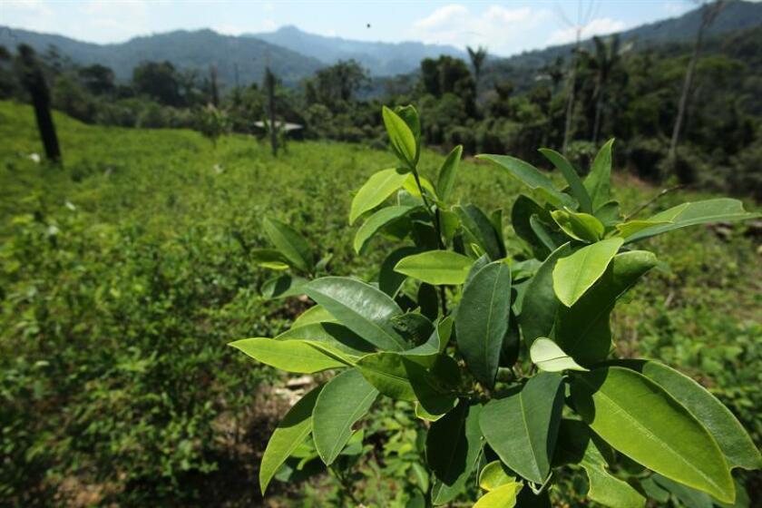 El Gobierno de Perú y un grupo de alcaldes presentaron hoy en el Congreso los avances en la sustitución de cultivos de hoja de coca con el ejemplo de dos de los productos que más rendimiento están dando: el cacao y el café. EFE/ARCHIVO