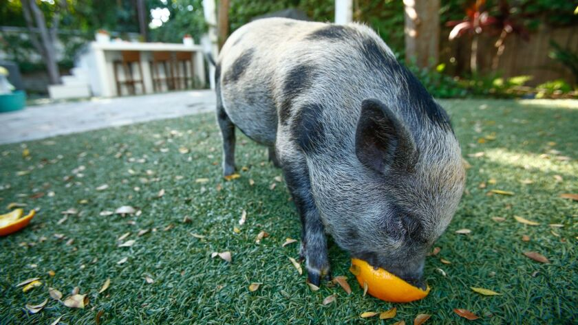 Sprinkles eats an orange in the backyard of Tara Swennen's home in Studio City.