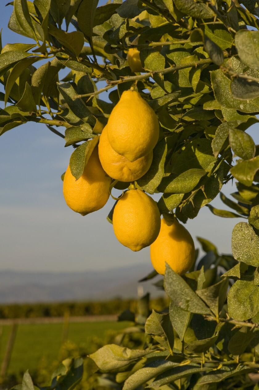 Yellow Star Seedless lemons in Visalia