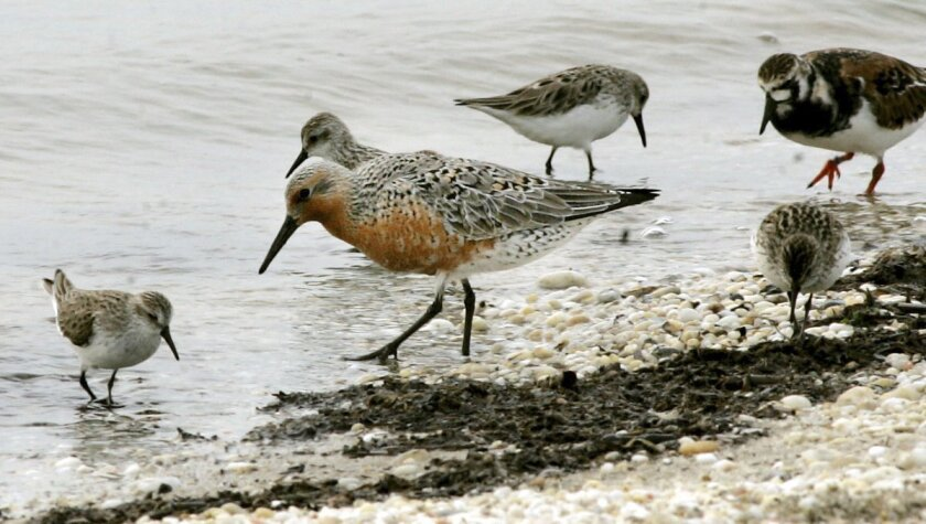 FILE -  In this May 23, 2005, photograph, a red knot, center, feeds among ruddy turnstones and sanderlings along the Delaware Bay shoreline in Middle Township, N.J. On Tuesday, Dec. 9, 2014, the federal government has ruled that the rust-colored shorebird known for its long migration is a threatene