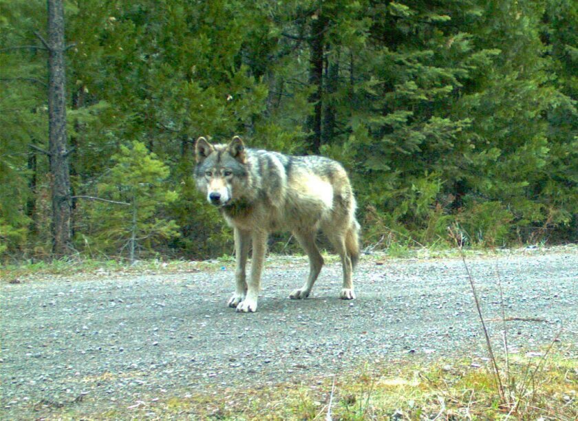 FILE-This remote camera photo taken May 3, 2014 and provided by the Oregon Department of Fish and Wildlife shows the wolf OR-7 on the Rogue River-Siskiyou National Forest in southwest Oregon's Cascade Mountains. Biologists have confirmed that OR-7 and a mate have produced at least two pups, making them the first known wolf pack in the Oregon Cascades since the state's last wolf was killed for bounty in 1946. OR-7 has been looking for a mate since 2011, and his wanderings took him across Oregon and into Northern California. (AP Photo/Oregon Department of Fish and Wildlife)