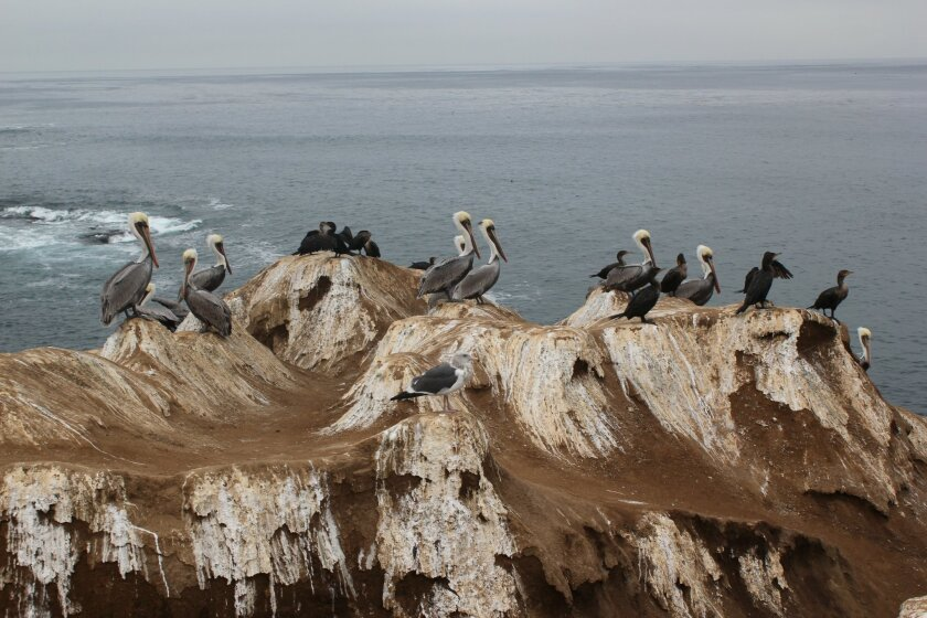 ray Weiss, a chemist with Scripps Institution of Oceanography, said a lack of oxygen permeating the layers of excrement on rocks at La Jolla Cove is allowing stench-inducing bacteria to flourish. Pat Sherman