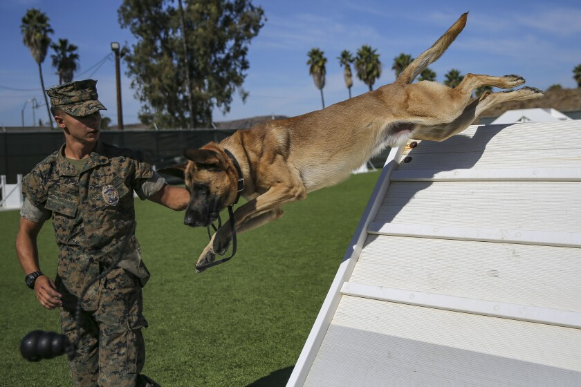 Military Police working dog handlers work on obedience training
