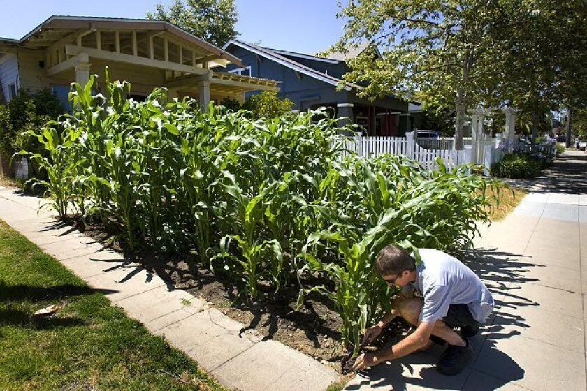 At his home in Mission Hills, Paul del Castillo tends to his crop of silver queen corn that he is growing in his front yard. Castillo figures the crops should be ready for harvest by the end of July.