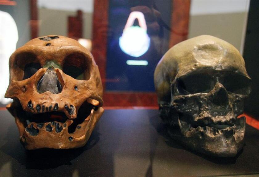 Los cráneos de un homo neanderthalensis (izqda), y un homo sapiens se muestran en una exposición. EFE/Archivo