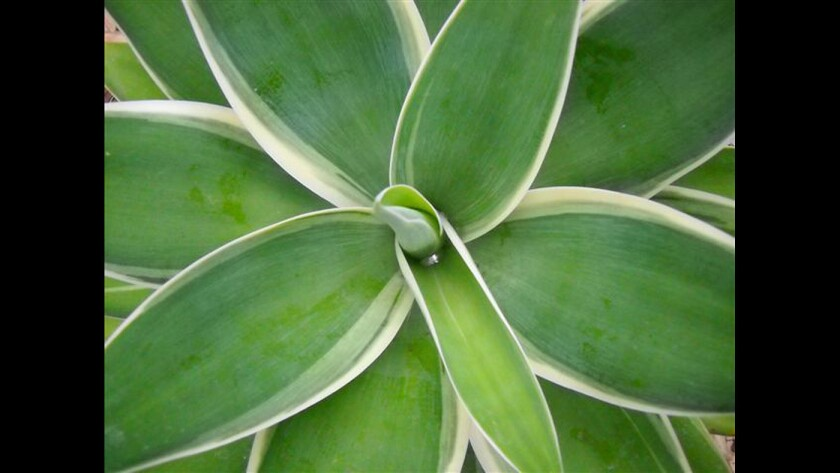 Variegated Fox Tail Agave