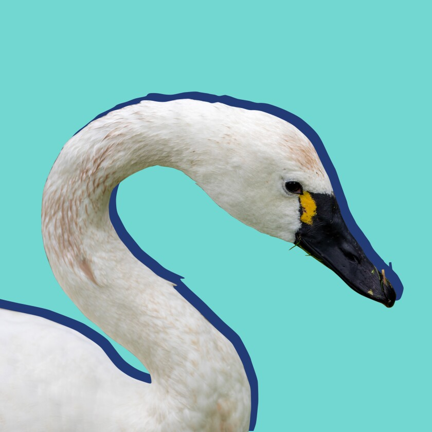 photo illustration of swan neck and head