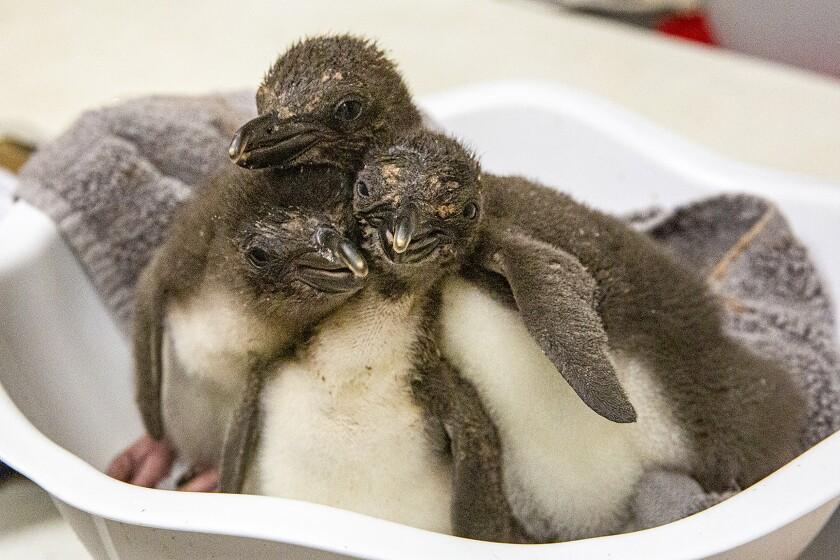 Kansas City Zoo Penguin Chicks