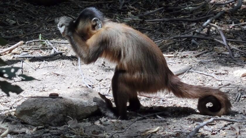 Capuchin monkey in Brazil