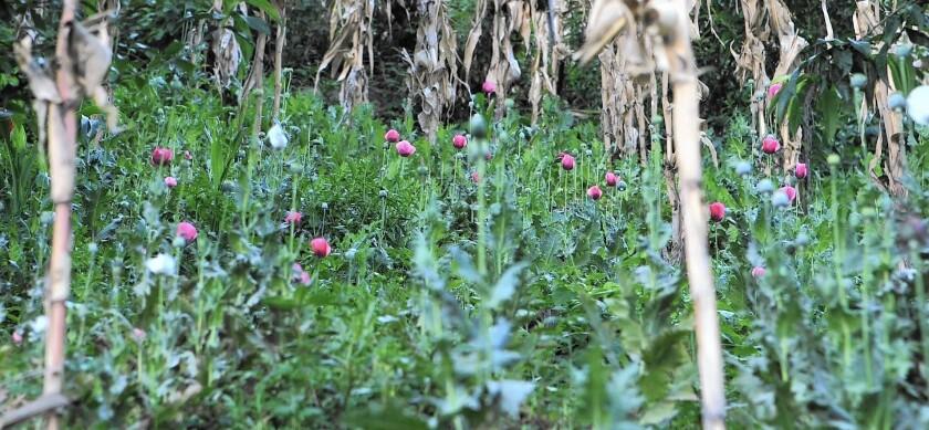 Opium poppy cultivation in Guerrero, Mexico