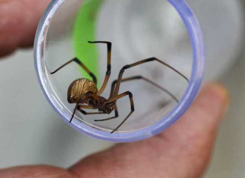 A brown widow spider collected in Irvine. The species is a relatively recent arrival to Southern California.