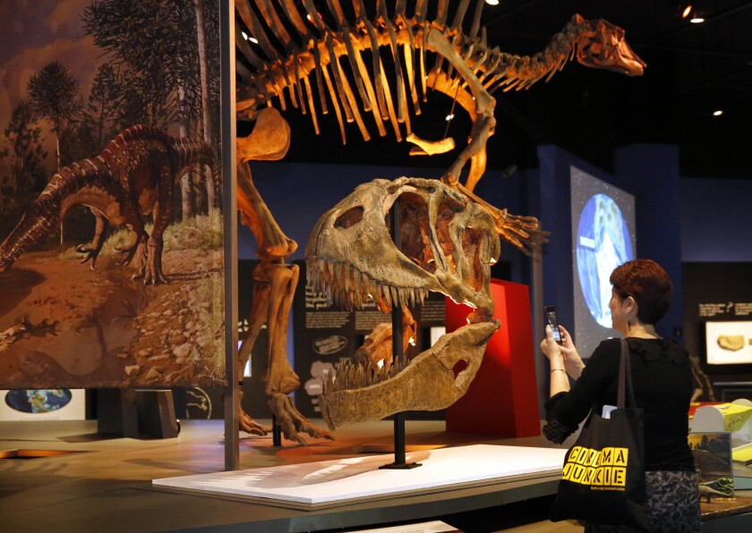 Beth Accomando takes a photo of the head of Carcharodontosaurus, one of the largest predators to have ever roamed the Earh, during the opening of the new Ultimate Dinosaurs exhibit at the San Diego Natural History Museum. (Nancee E. Lewis)