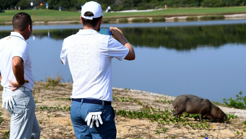 Can you take an unplayable lie if your ball lands next to a furry rodent the size of a pig?