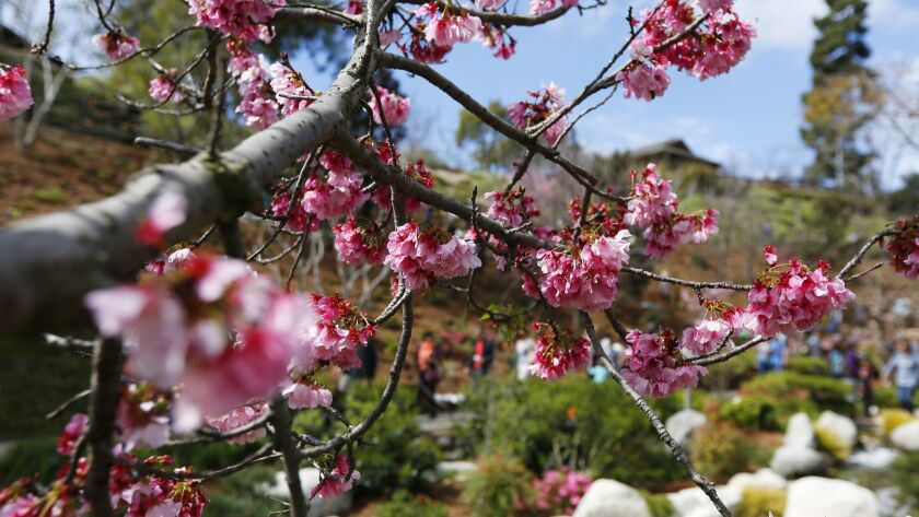 Cherry blossoms are beginning to bloom at the Japanese Friendship Garden in Balboa Park.
