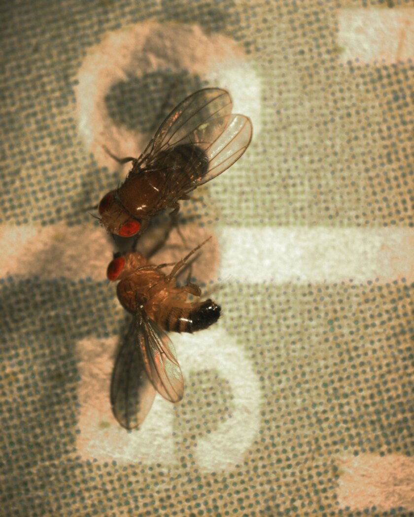 Down at the 50-yard line: A dazed fruit fly lies on a laboratory tray.