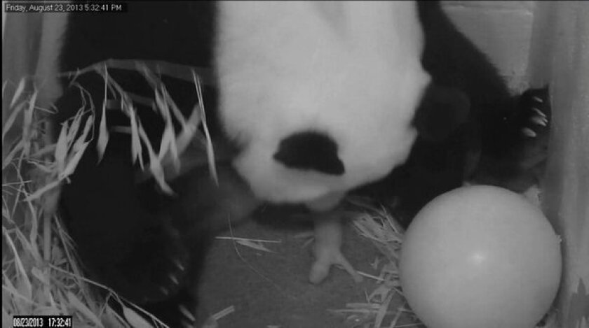 In this image from video provided by the Smithsonian National Zoo, Mei Xiang gives birth to a cub Aug. 23. The zoo says the baby girl is chatty and pudgy.