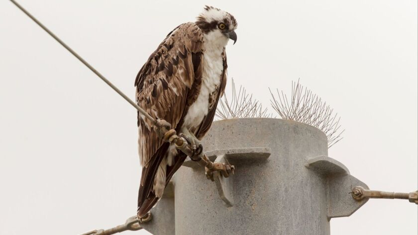 Osprey at Cabrillo Beach in San Pedro. A team of naturalists set out after midnight Saturday to see