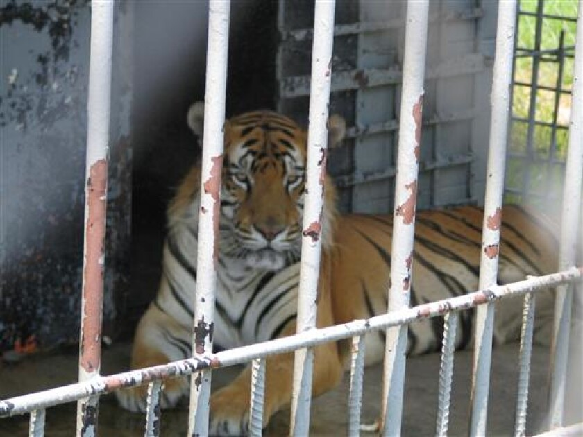 A tiger in a cage