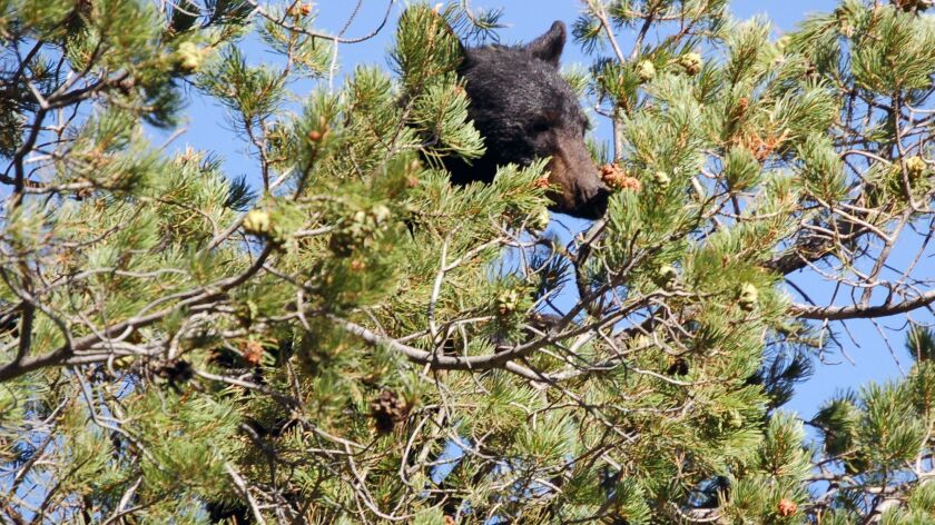A black bear climbs a pine tree in Big Bend National Park.