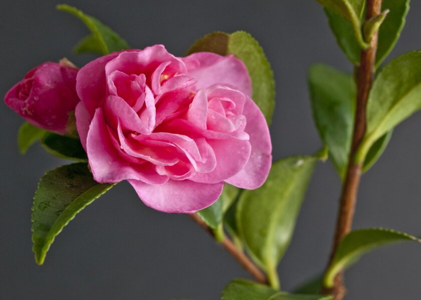 It's best to choose a camellia plant while it's blooming.
