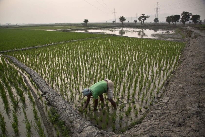 An Indian farmer works in his paddy field in Roja Mayong village, east of Gauhati, India. Researchers report a link between crop-damaging temperatures and suicide rates in India, where more than 130,000 farmers end their lives every year.