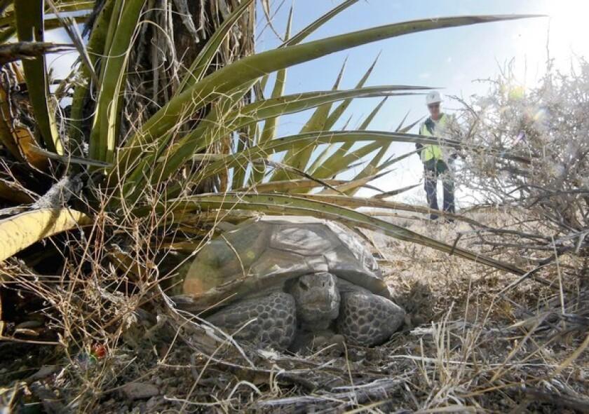 Biologist Larry LaPre observes an older male desert tortoise.