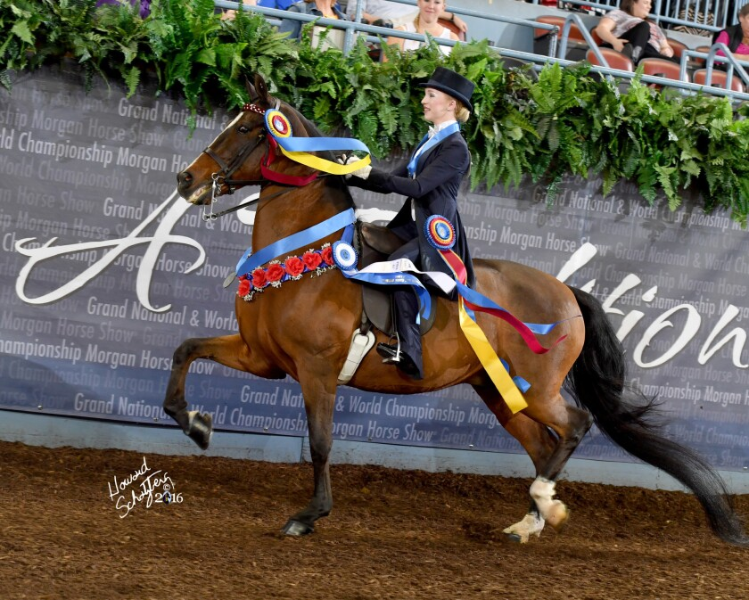 Katie Myron rides Tamarisk On Target GCH (Grand Champion) during the Parade of Champions at the Grand National & World Championship Morgan Horse Show in Oklahoma City in October.