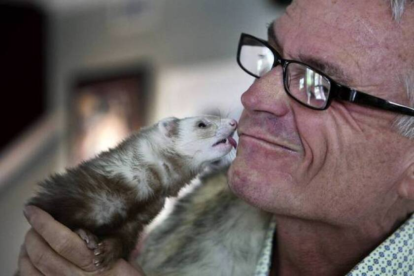 Bailey the ferret gets close to owner Pat Wright. Wright is trying to collect enough signatures on a petition to legalize ferrets as pets in California to get the attention of the White House.