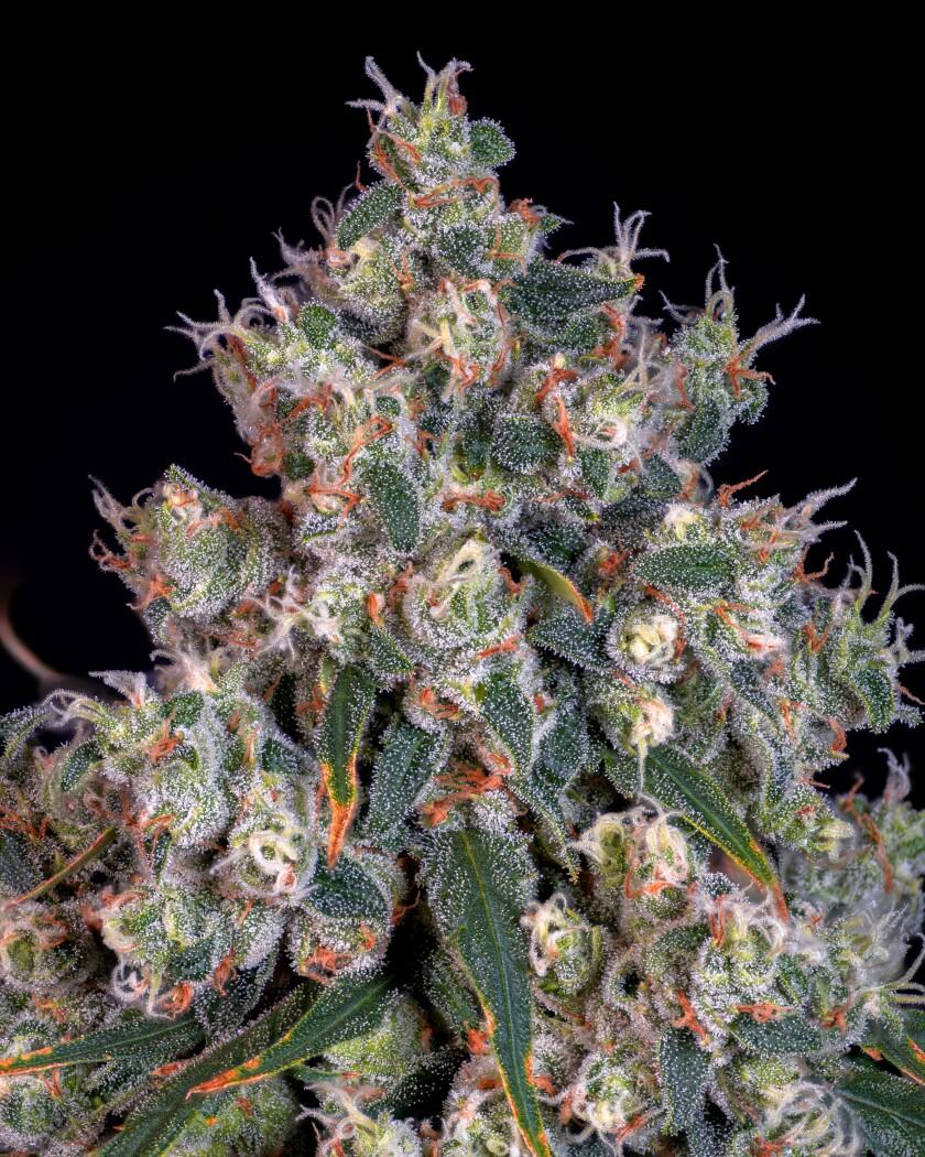 la-tr-vegas-cannabis-Pure Haze Macro.jpg