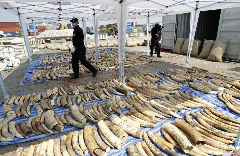 Customs officers walk next to confiscated smuggled African elephant tusks during a news conference at the Port Authority of Thailand in Bangkok on April 20.