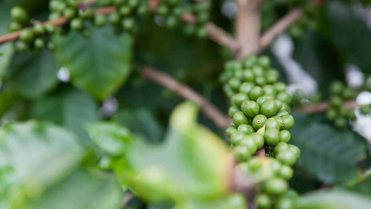 Green Coffee Beans For Weight Loss Um Never Mind Los Angeles Times