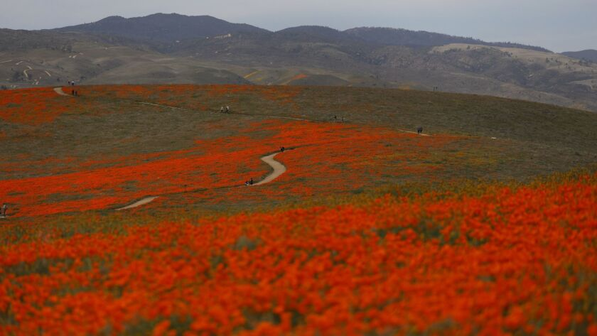 Visitors walks on a meandering path through fields of California poppies in Lancaster.