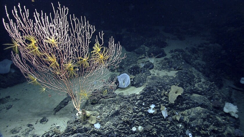 Environmentalists hope President Obama will create an undersea national monument off the coast of New England. A photograph from the National Oceanic and Atmospheric Administration shows corals growing in an area known as the Mytilus Seamount.