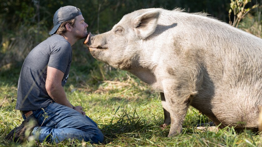 """Dan McKernan with a large pig in """"Saved by the Barn"""" on Animal Planet."""