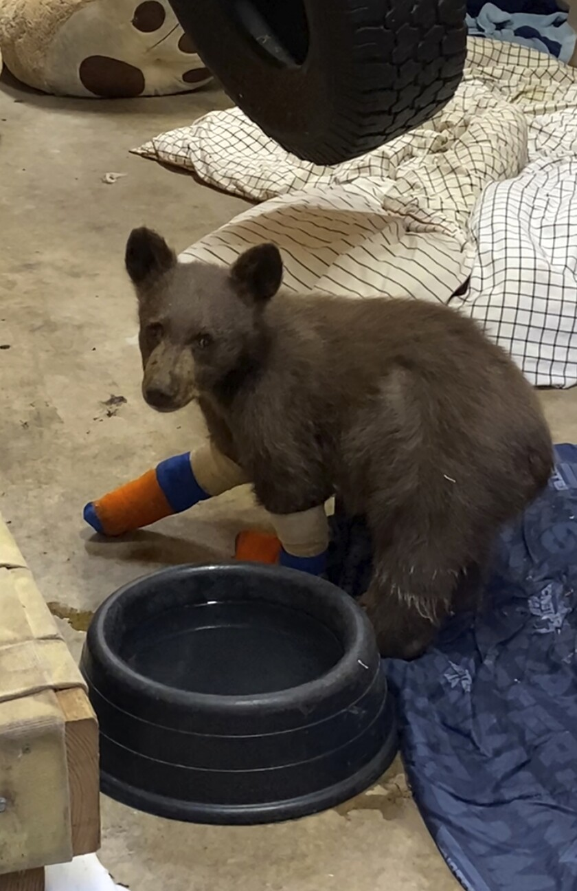 FILE - In this July 31, 2021, file photo provided by Lake Tahoe Wildlife Care, is a bear cub that was taken in for treatment to Lake Tahoe Wildlife Care in South Lake Tahoe, Calif., after it suffered burns in a California wildfire. Officials at the wildlife center at Lake Tahoe said Thursday, Aug. 5 they're optimistic they can rescue a second time the injured bear cub that escaped from the care facility where he was being treated for burns suffered in a Sierra wildfire after he was spotted clinging to a tree in a mountain forest. (Lake Tahoe Wildlife Care via AP, File)