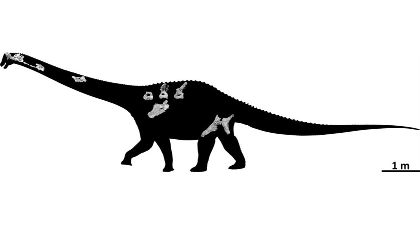 The new skeleton of Diamantinasaurus, which includes the first partial sauropod skull ever found in Australia.
