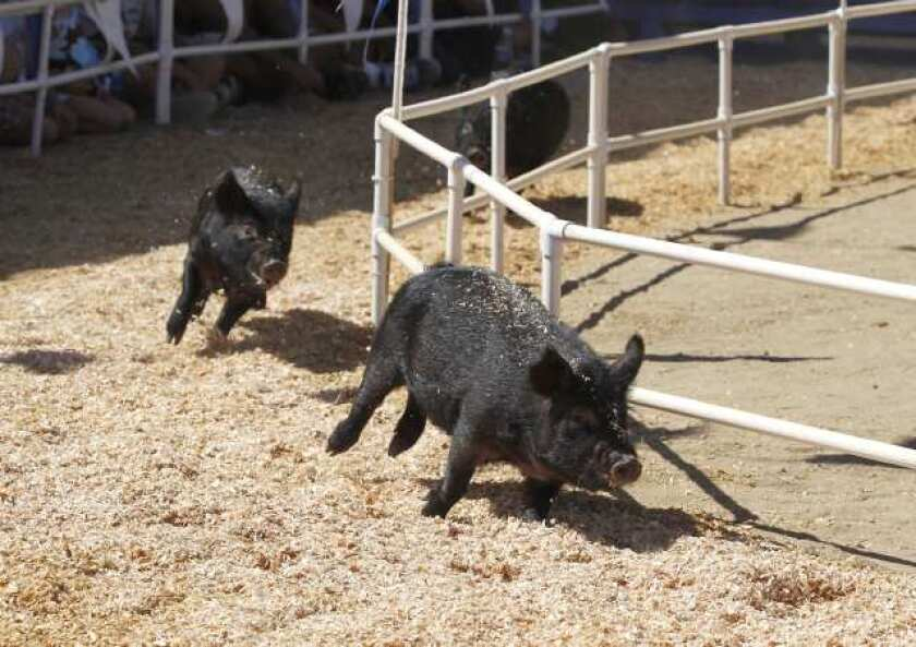 Pig races and pig scrambles are staples at many county fairs. Pictured above, three American guinea hogs race around the track during pig races at the Orange County Fair in 2011.