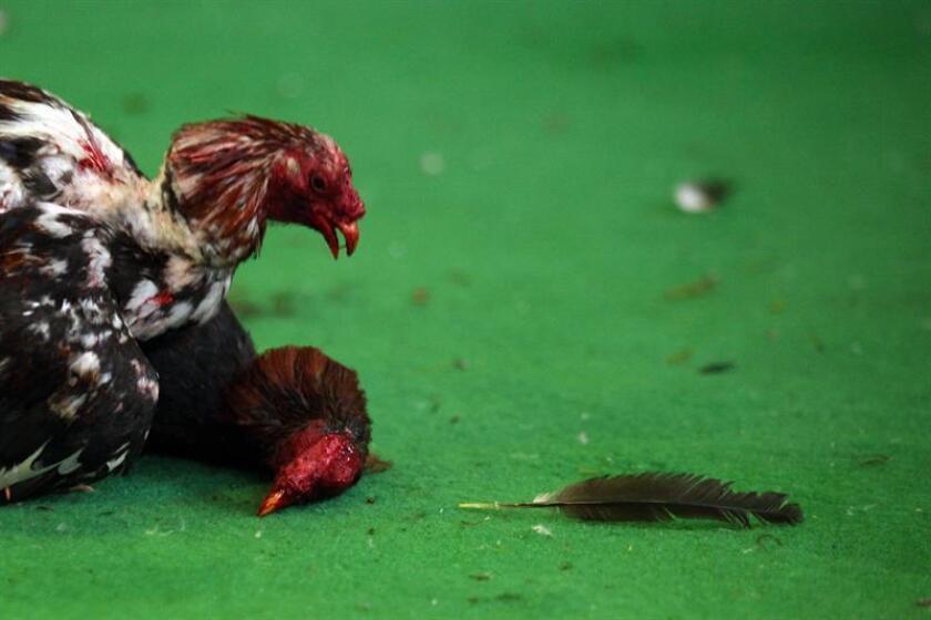 Dos ejemplares se enfrentan durante una pelea de gallos. EFE/Archivo