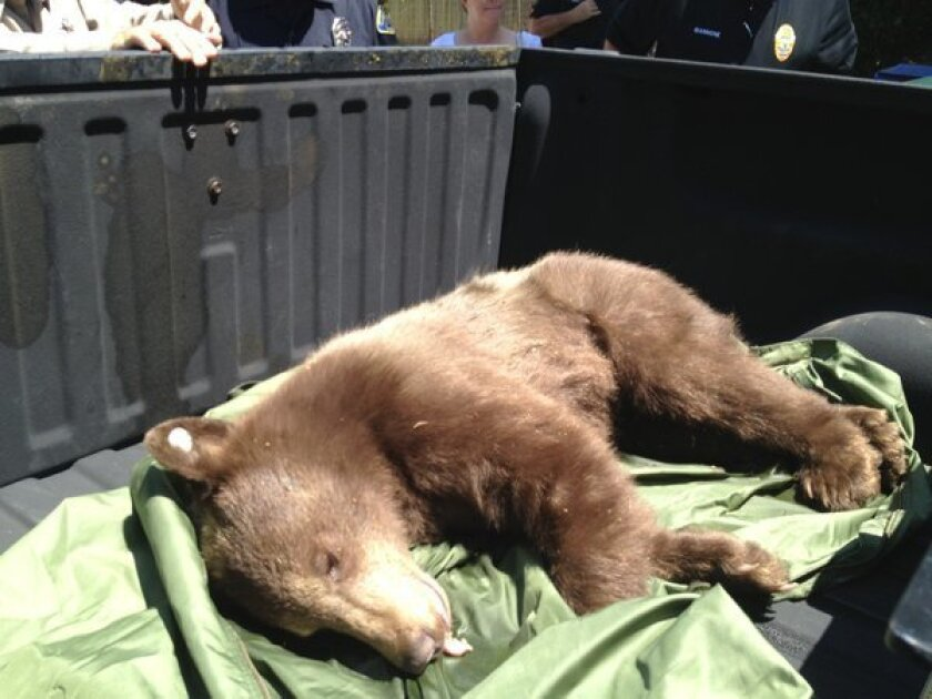 Bear captured in Sierra Madre after pursuit through town